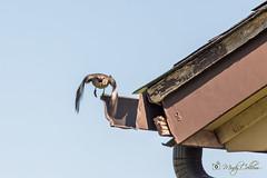 20/52 (yosmama151) Tags: bird mockingbird house oklahomacity oklahoma 52weekproject 52weeks