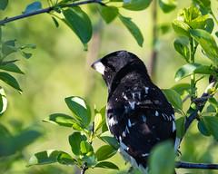 Contemplating Grosbeak (Radar Boy) Tags: bird avian springbankpark grosbeak redbreasted finch