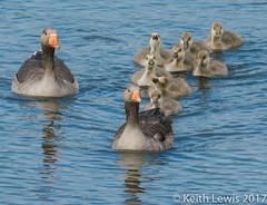 Convoy (keithhull) Tags: geese goslings northcavewetlands eastyorkshire family