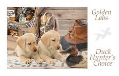 GOLDEN  LAB PUPPIES FOCUSED ON CANVASBACK DECOY (stew117artist) Tags: golden lab puppies duck decoys hunting bag boot caller shotgun shells
