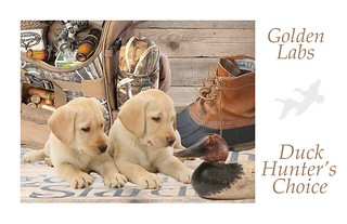 GOLDEN  LAB PUPPIES FOCUSED ON CANVASBACK DECOY