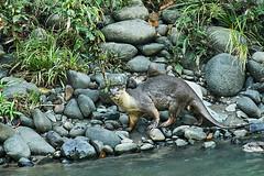 BO1_7357 (lucvanderbiest) Tags: riverotter rivierotter borneo maleisië sabah danumvalleywildlifereserve
