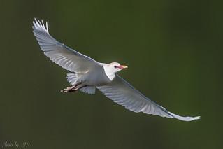 Héron garde-boeufs / Cattle egret / Garcilla bueyera / Airone guardabuoi / Kuhreiher / Bubulcus ibis