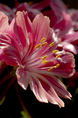 A Flower for all the Mothers out there! (Laurie4593) Tags: lewisia flower blossom bloom spring macro closeup pink striped stripedflower petals stamen side 50mm canonrebelt3i sunny day mothersday pretty delicate pinkandwhite