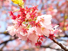 Blossom bliss! (Digidoc2 - BACK) Tags: cherryblossom blossom bloom flower tokyo garden japan pink beautiful floral spring flowers