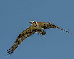Lunch is Served... (ragtops2000) Tags: osprey flyover migrating flying raptor fishhawk distinctive detail colorful catch fish dinner intense yelloweye position perspective sky blue exciting lake water tamron150600g2 nikond500 iowa lakemanawa feathers markings