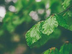 2017-05-16-17-49-34 (torstenbehrens) Tags: nature bokeh olympus penf m45mm f18 digital camera bornhöved schleswigholstein deutschland blatt blätter nass rainy day