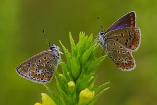 Couple of polyommatus icarus