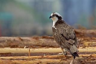 Osprey on the boom (r)