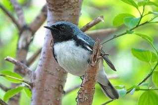Paruline bleue à george noire / Black-throated Blue Warbler / Dendroica caerulescens