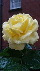 20170517_084031 (Carol B London) Tags: sgc flowers floral stepney stepneygreencourt stepneygreen e1 londone1 flowering bushes residentgarden rose rosebush yellowrose yellowflower gardens ids