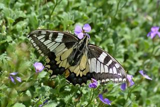 Papilio machaon -Macaone