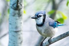 Clermont_170518-7940 (MaximeClermont) Tags: bird geai jay cyanocitta wildlife