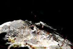 En reconnaissance (zuhmha) Tags: insecte insect ant fourmi pierre minéral soleil sun nature végétal vegetal plant plante matière texture animal macro grosplan premierplan mineral herbre fleur flower caillou stone rocher roche color couleur