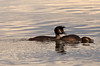 The courting couple! (Jay Bees Pics) Tags: greatcrestedgrebes courting waterfowl birds wildlife nature poolsbrookcountryparkstaveley chesterfield derbyshire 2017 ngc npc magicunicornverybest
