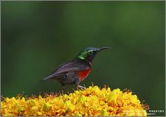 Van Hasselt's Sunbird (Luis Foo) Tags: van hasselts sunbird pentax k70 sigma 150500mm baihualing wildlife bird