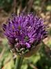 Flowering onion (Elise de Korte) Tags: fr france frankrijk ldf lafrance bloei bloeien bloem bloemen fleur fleurs flower flowers groentetuin moestuin oignon onion potager sierui ui vegetablegarden veggiegarden voorjaar
