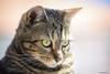 _DSC6120-2 (gRom62) Tags: animalidomestici animali gatti animals pets cats color