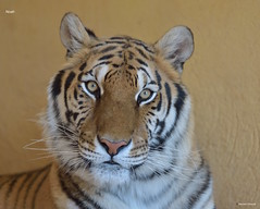 MRC_5486 Noah the Tigress (Obsies) Tags: tiger tigress noah wildlife cats felines look eyes animals