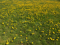 Dandelions at Fort Vancouver in Washington (Jeff Hollett in Vancouver, WA) Tags: dandelions fortvancouver vancouver washington landscape west pacificnorthwest grass