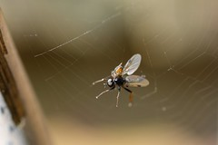 No escape! (suekelly52) Tags: webwednesdays web spider fly insect arachnid