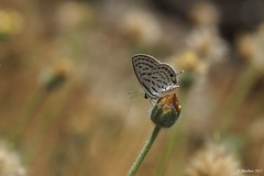 Lonely Papillon... (madhavmallia) Tags: butterfly gramblue papillon lonely flowerbud grass silkybokeh shadow flowers alone