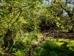 IMG_8789 (Photopedaler) Tags: cornishcycling paths trails trees woodland bicycle mountainbiking fatbiking