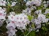 Spring blooms, Rhododendrons (LarrynJill) Tags: pink rhodies flowers park