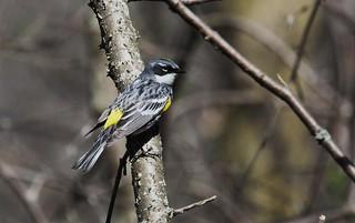 Paruline à croupion jaune  / Setophaga coronata  / yellow-rumped warbler