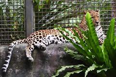 Leopard (花豹) (scv1_2001) Tags: nikon nikon70200mmvrii nikond750 taiwan taipeizoo 台北市立動物園