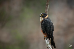 Halcón Murcielaguero (Jorge De Silva R) Tags: bat falcon falco rufigularis halcón murcielaguero simadelascotorras birds aves de chiapas nature legado verde