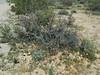 Q3267060 Joshua Tree National Park Wilson Canyon wildflowers (ceztom) Tags: march 26 2017 wilsoncanyon whitetank joshuatree nationalpark