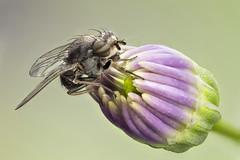 Lauxaniidae, Calliopum sp, (male) (dorolpi) Tags: