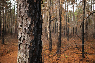 Dividing line of a controlled burn in the Pine Barrens