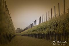 Vigneto #vallenoncello (Gian Franco De Tommaso) Tags: vigneto vigna uva terra pordenone coltivare natura vino vineyard grape land cultivate nature wine
