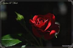 Non ho un giardino... ma tutte le rose sono mie - Maggio-2017 (agostinodascoli) Tags: rosa fiori nikon nikkor cianciana sicilia nature maggio agostinodascoli texture nikonclubit