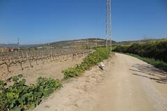 Camins enverinats, Vilafranca del Penedès (esta_ahi) Tags: vilafrancadelpenedès herbicida veneno muerte rasadelsvinots camídesantpau penedès barcelona spain españa vinya viña viñedo vineyard vitisvinifera