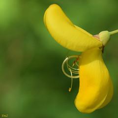 A gorge déployée !! (thierrymazel) Tags: genets flowers blossoms bokeh profondeur champ pdc dof printemps spring jaune yellow