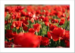 Amapolas (Lourdes S.C.) Tags: flores flowers naturaleza amapolas campodeamapolas