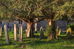 (Mark Greening) Tags: bristol horfield tree horfieldparishchurch gravestone england unitedkingdom gb