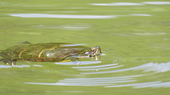 Eastern painted turtle (Hayseed52) Tags: painted eastern turtle swimming pond greenwater sunny summer