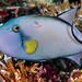 Pinktail Triggerfish, light phase - Melichthys vidua