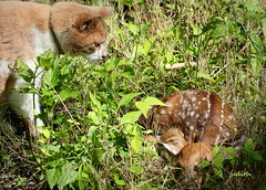 Leo's discovery -- EXPLORED (judecat ( celebrating spring)) Tags: cat feline redtabby leo curious nature wildlife pennsylvaniawildlife fawn spots whitetaildeer baby newborn