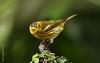 Cigüita Tigrina -Setophaga tigrina- Cape May Warbler.