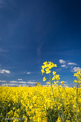 113/365 - Blue and yellow (phil wood photo) Tags: 2017 2017photofun 365 day113 field rapeseed shenton spring blueandyellow