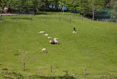 Popodnevno grijanje na proljetnom suncu (MountMan Photo) Tags: rijekakupa kupari gorskikotar primorskogoranska croatia landscape ovce