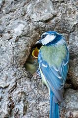 02_PeupleDeLair_4033 (darry@darryphotos.com) Tags: 7020028 animaux cyanistescaeruleus deuxsevres melle melle79 nikon oiseau paruscaeruleus animal bird mesangebleue nichée nourrissage oiseaux oiseauxdujardin ornithologie