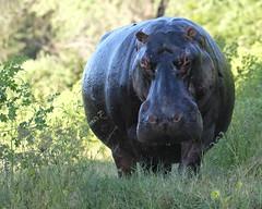 Irritated Hippo (Joe Tecza) Tags: zambezi zambeziriver lowerzambezinationalpark zambia canoe canoetrip hippopotamus
