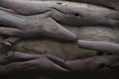 Lerdederg Gorge April 2017 (i_shudder) Tags: lerdederggorge tree eucalypt fallen eucalyptus bark conservation form texture composition australia nationalpark colour