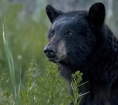 Black bear portrait (vishalsubramanyan) Tags: bear blackbear portrait grass yellowstone wyoming morning wildlife nature wildlifephotography naturephotography panasonoc leica 100400
